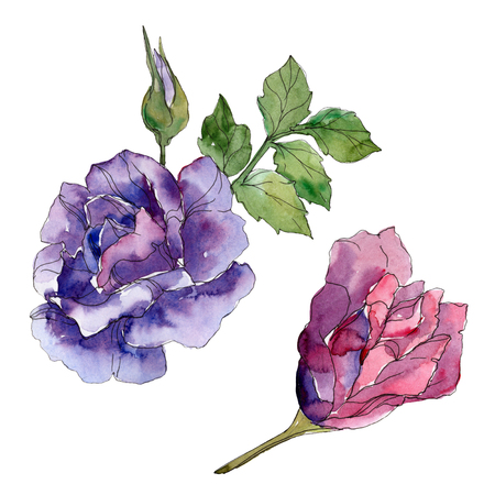 Red and purple rose floral botanical flowers. Wild spring leaf wildflower isolated. Watercolor background illustration set. Watercolour drawing fashion aquarelle. Isolated rose illustration element. 写真素材