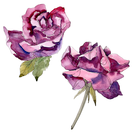 Purple rose floral botanical flowers. Wild spring leaf wildflower isolated. Watercolor background illustration set. Watercolour drawing fashion aquarelle. Isolated rose illustration element. 写真素材