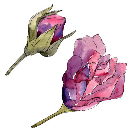 Purple rose floral botanical flowers. Wild spring leaf wildflower isolated. Watercolor background illustration set. Watercolour drawing fashion aquarelle. Isolated rose illustration element. Imagens