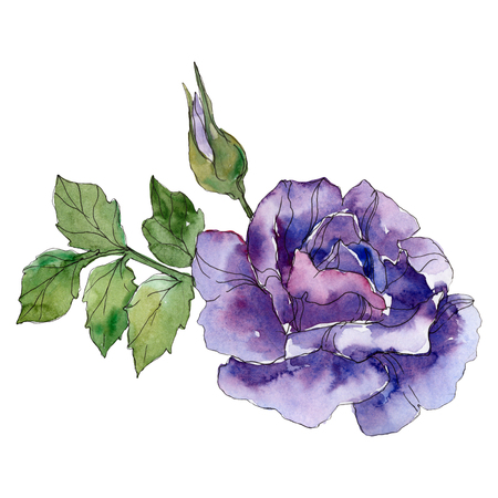 Violet rose floral botanical flower. Wild spring leaf wildflower isolated. Watercolor background illustration set. Watercolour drawing fashion aquarelle. Isolated rose illustration element.
