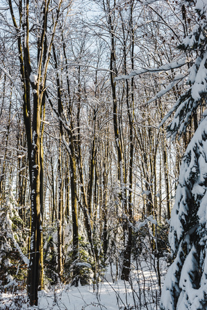 trees covered with snow in winter forest at daytime Stock fotó