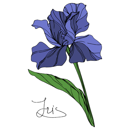 Vector Blue iris floral botanical flower. Wild spring leaf wildflower isolated. Blue and green engraved ink art. Isolated iris illustration element on white background.