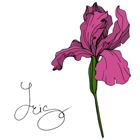 Vector Maroon Iris floral botanical flower. Wild spring leaf wildflower isolated. Engraved ink art. Isolated iris illustration element. 写真素材
