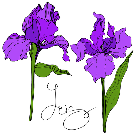 Vector Purple Iris floral botanical flower. Wild spring leaf wildflower isolated. Engraved ink art. Isolated iris illustration element.