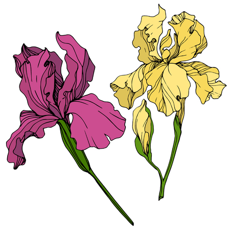 Vector Yellow and maroon Iris floral botanical flower. Wild spring leaf wildflower isolated. Engraved ink art. Isolated iris illustration element.