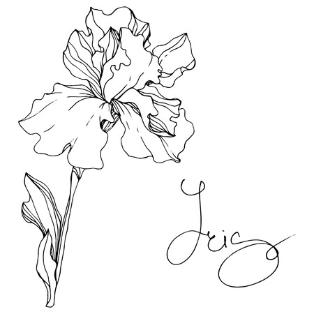Vector Iris floral botanical flower. Wild spring leaf wildflower isolated. Black and white engraved ink art. Isolated iris illustration element. Stock fotó