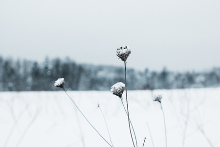 selective focus of dry field flowers covered with snow