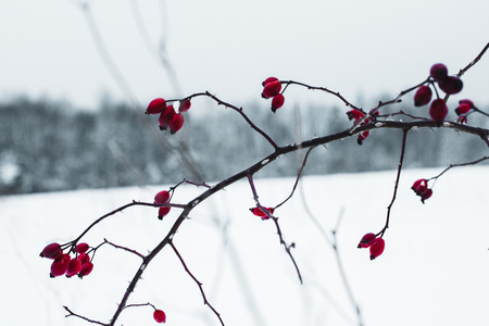 selective focus of icy red berries on dry branch in winter