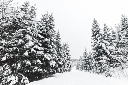 pines covered with white snow in Carpathian Mountains