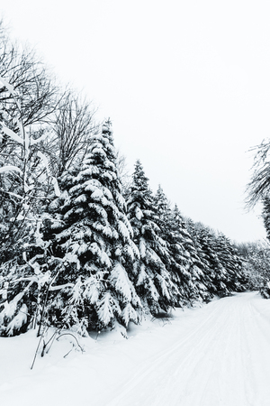 firs covered with snow in white winter forest in carpathian mountains