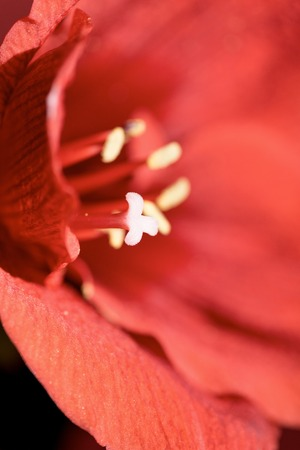 selective focus of Living coral amaryllis flower background. Color of the year 2019 concept