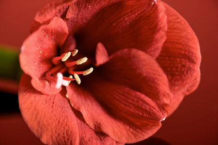 close up view of Living coral amaryllis flower. Color of the year 2019 concept