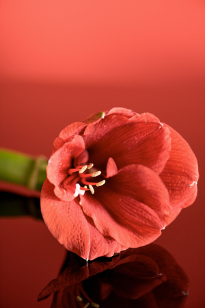 amaryllis flower in living coral color on red background. Color of the year 2019 concept
