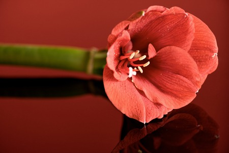 amaryllis flower in living coral color on red background