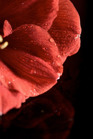 close up view of amaryllis flower with drops Stock Photo