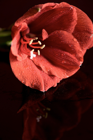 close up view of Living coral amaryllis flower on dark background