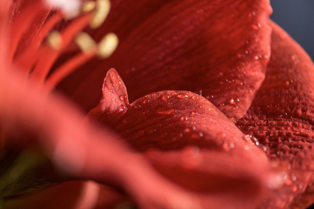 macro view of Living coral amaryllis flower background Stock Photo