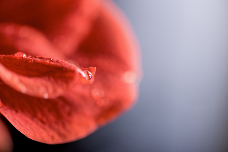 macro view of red amaryllis flower, selective focus Stock Photo