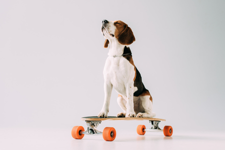 cute beagle dog sitting on skateboard on grey background