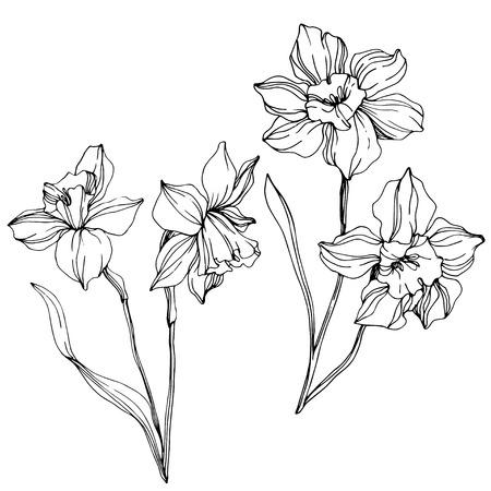 Vektor Narzisse botanische Blumenblume. Wilde Frühlingsblatt Wildblume isoliert. Schwarz-weiß gravierte Tinte Art.-Nr. Lokalisiertes Narzissenillustrationselement auf weißem Hintergrund.
