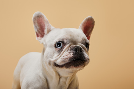 white french bulldog with black nose on beige background
