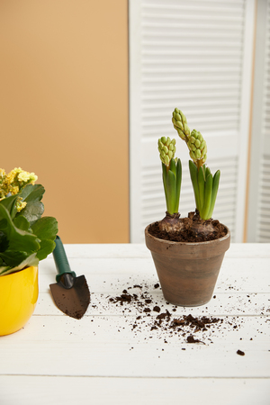 yellow flowers and hyacinth in clay flowerpot with spade