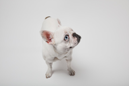 french bulldog with dark nouse on white background