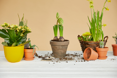 daffodils, hyacinth, cactus and aloe in clay flowerpots