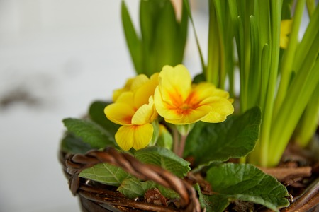 close up yellow flowers with green leaves in braided pot 스톡 콘텐츠