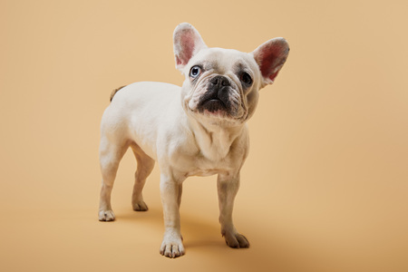 small french bulldog with dark nose on beige background