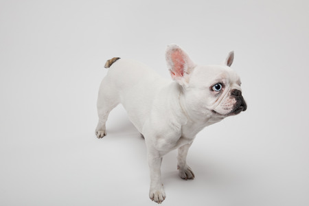 french bulldog with black nose and mouth on white background