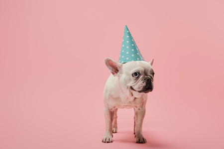 french bulldog in blue birthday cap on pink background