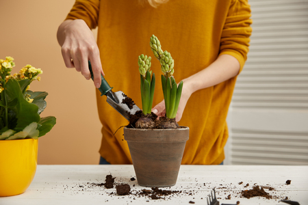 partial view of gardener planting hyacinth in clay flowerpot with spade