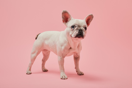 french bulldog with white color and dark nose on pink background