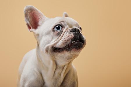 white french bulldog head up on beige background Stock Photo