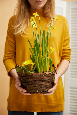 cropped view of woman in sweater holding daffodils