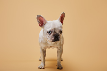 french bulldog of white color with dark nose on beige background