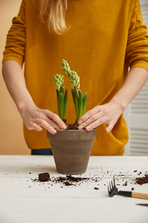 partial view of gardener in yellow sweater planting hyacinth in clay flowerpot Banque d'images