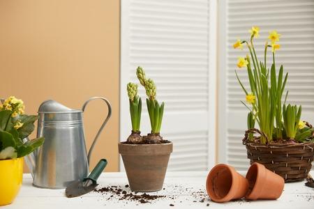 narcissen in gevlochten bloempot en hyacint met gieter Stockfoto