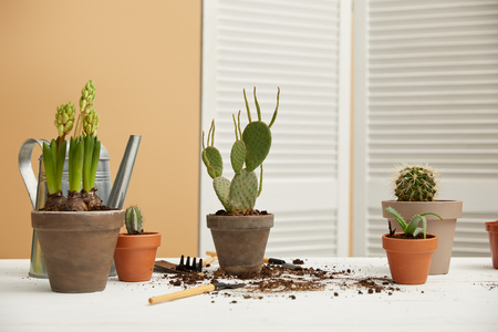 cacti, aloe and hyacinth in clay flowerpots on white table Фото со стока