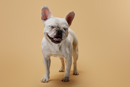 french bulldog with closed eyes on beige background