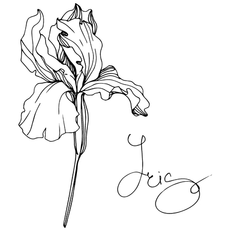 Vector Iris floral botanical flower. Wild spring leaf wildflower isolated. Black and white engraved ink art. Isolated iris illustration element. Stok Fotoğraf