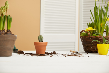 cactus in clay flowerpot with hyacinth and aloe on table