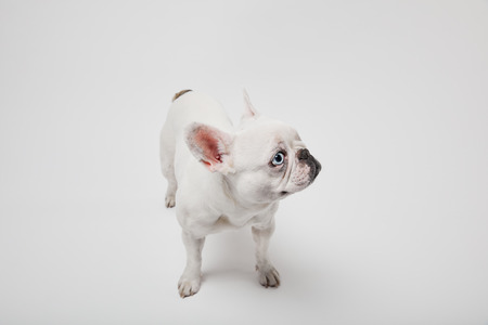 french bulldog with black nose on white background Фото со стока