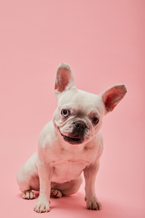 french bulldog with dark nouse and mouth on pink background