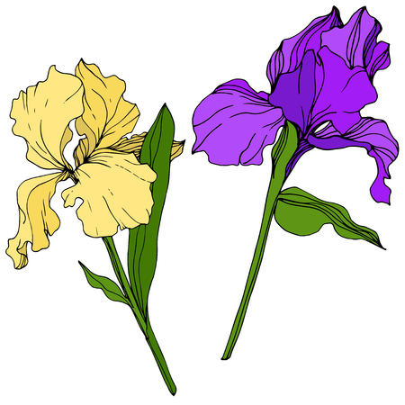 Vector Yellow and purple Iris floral botanical flower. Wild spring leaf wildflower isolated. Engraved ink art. Isolated iris illustration element. 스톡 콘텐츠 - 118536198