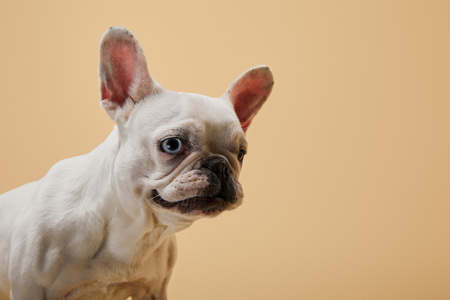 french bulldog with dark nose and mouth on beige background