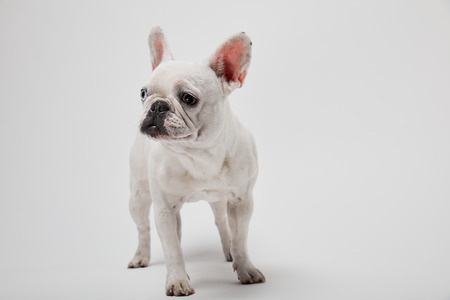 small french bulldog on white background