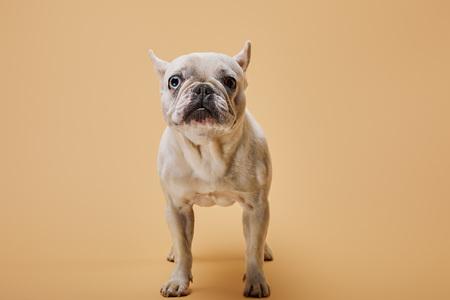 white french bulldog with dark nose on beige background