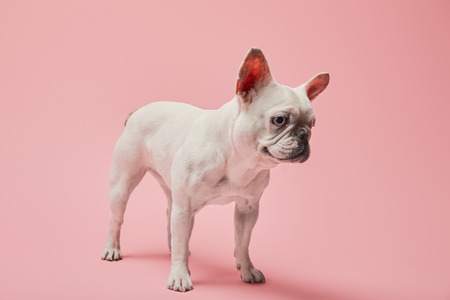 white french bulldog with dark nose on pink background Stock Photo
